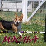Mocha taking a jump in agility1 (1)