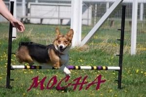 Mocha taking a jump in agility1 (1)
